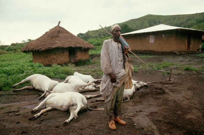 Man with His Dead Cattle After Volcanic Disaster Verendete Rinder